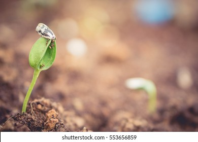 Sunflower sprout from the soil