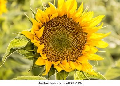 Sunflower in summer day