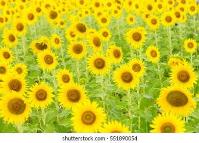 sunflower summertime.