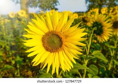 sunflower in sun on a field in sunlight