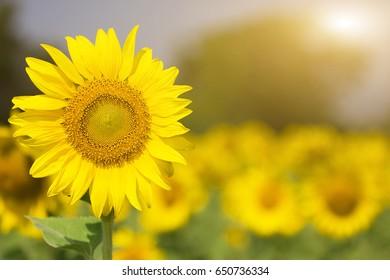 Sunflower with sun rise