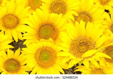 Sunflower, Sun, Single Flower, Flower, Sunlight