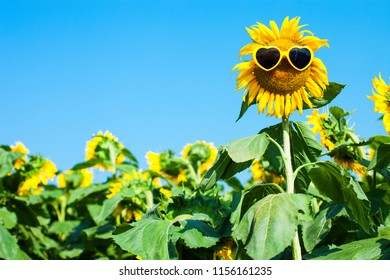 Sunflower with sunglasses and smile face outside on sunflowers field