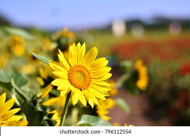 A Sunflower in the sunlight (Scienctific name:Helianthus hybrid)