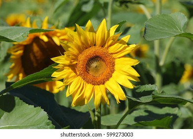 Sunflower at sunny day.