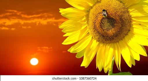 Sunflower is a sunny flower. a tall North American plant of the daisy family, with very large golden-rayed flowers. Sunflowers are cultivated for their edible seeds,