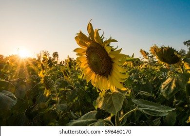 sunflower with sunset, sunflower in the field.