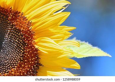 Sunflower in the sunshineday