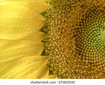 Sunflower texture and background. Texture of sunflower pollen. Macro view of abstract nature texture and background  Organic pattern. Sunflower in bloom.