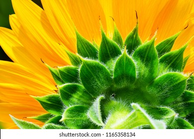 sunflower texture, natural pattern, yellow and green nature background