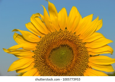 The Sunflower in Thailand and Very beautiful.