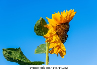 A sunflower that  looks like a face with a blue background