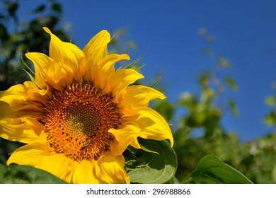 a sunflower under blue summer sky with bee gathering nectar for honey