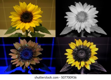 Sunflower in visible light, infrared, UV fluorescence, and reflected UV.
