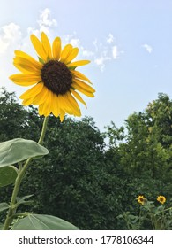 Sunflower waving in the sky #natures bursary