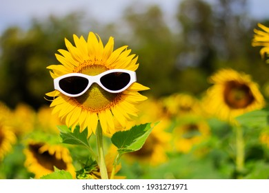 Sunflower wearing sunglasses, Concept of the summer funny background.(Soft Focus)
