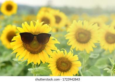Sunflower wearing sunglasses  in a sunflower field