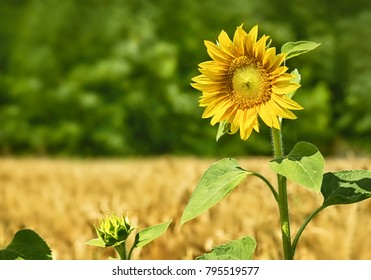 Sunflower, wheat field and forest
