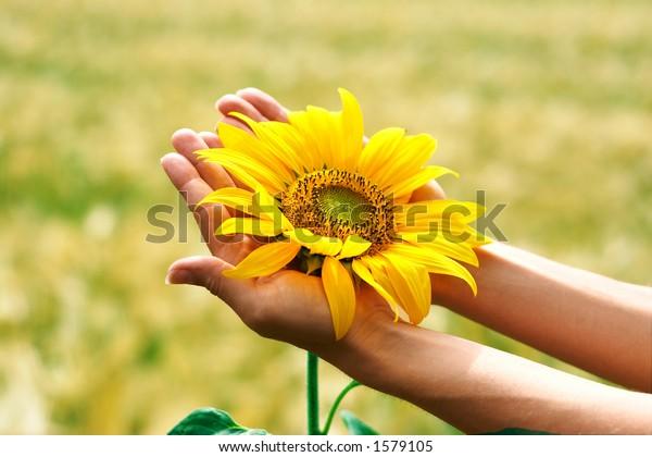 Girasol en palmas femeninas