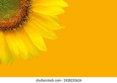 Sunflower, Sunflower with yellow background,