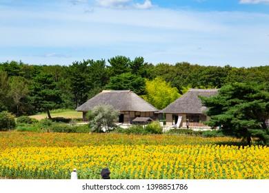 Sunflower and zinnia garden in Hitachi seaside park