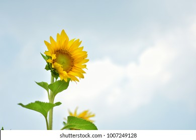 sunflower,Blackground Sunflower,Sunflower has sky