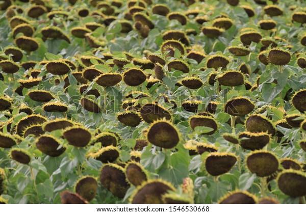 Sunflower-field in North Dakota, USA