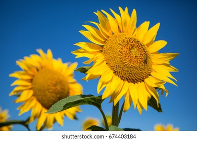 Sunflowers against the blue sky, close-up