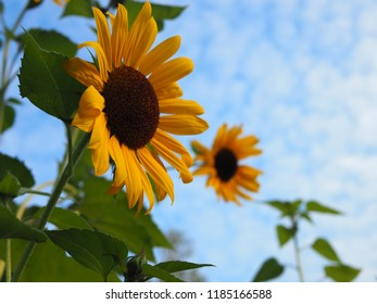 Sunflowers against the blue sky with clouds