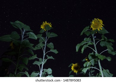Sunflowers against the night starry sky. Russia, Tver region