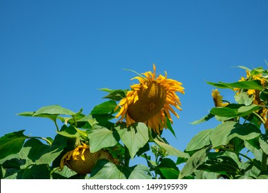 Sunflowers Against the Sky in a Meadow