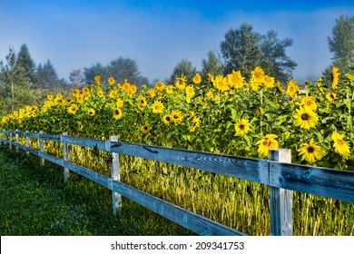 Sunflowers along a white post and rail fence on a foggy morning, Stowe Vermont, USA