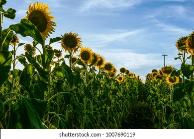 Sunflowers amongst a field in the afternoon in Nobby, Toowoomba Region, Queensland.