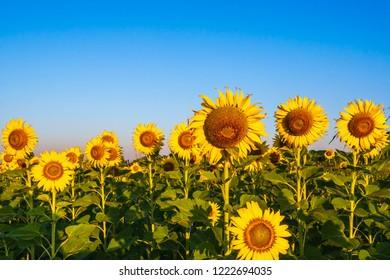 Sunflowers at Ban PasaLong Sunflower Field / Lopburi / Thailand.