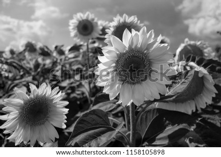 Sunflowers Black White Photo Stock Photo Edit Now 1158105898
