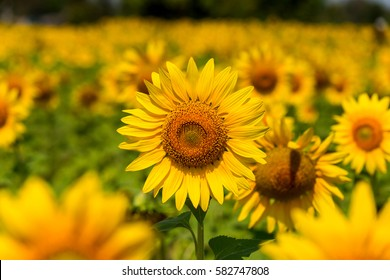 Sunflowers blooming against a bright sky.Sunflowers Unseen Thailand flowers.