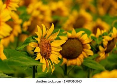 Tournesols fleurissent et abeilles dans le champ. récolte et agriculture en été
