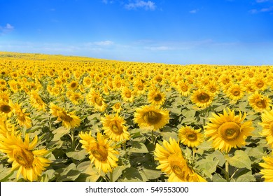 sunflowers blooming  in the bright blue sky, nice landscape with sunflowers