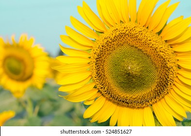 Sunflowers blooming in the farm with blue sky background