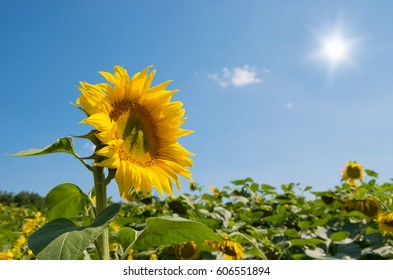 Sunflowers blooming in farm with blue sky.