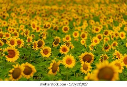 Des tournesols fleurissent dans le champ. récolte et agriculture en été