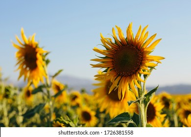 Sunflowers blooming on a summer afternoon