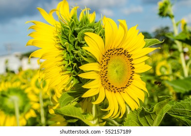 Sunflowers blooming in the sun in the morning.