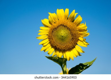 Sunflowers with blue sky