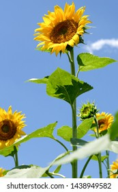sunflowers and blue sky, backgrouds