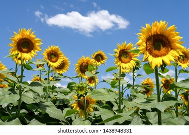 sunflowers and blue sky white clouds