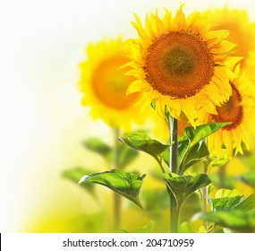Sunflowers border design isolated on white with blurred corner background. Agriculture. Blooming sunflower closeup.Yellow flowers