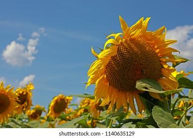 Sunflowers in Burgenland / Austria