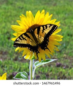 Sunflowers and butterflies on a sunny Sunday