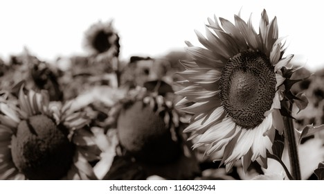 Sunflowers B&W on a white sky